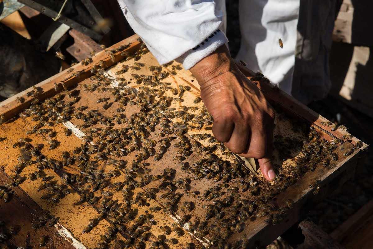 abejas10