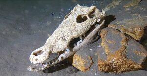cráneo cocodrilo