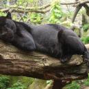 Close-up of black jaguar resting on a tree branch